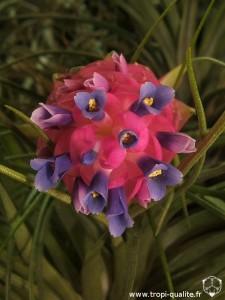 Tillandsia stricta Hard leaf form fleur (cliquez pour agrandir)