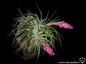 Tillandsia stricta Soft leaf form (cliquez pour agrandir)