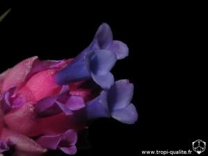 Tillandsia stricta Soft leaf form fleur (cliquez pour agrandir)