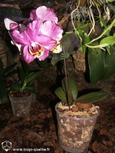 Floraison Dtps Chain Xen Pearl (Jw88 ou 'Yoshimi', cliquez pour agrandir)