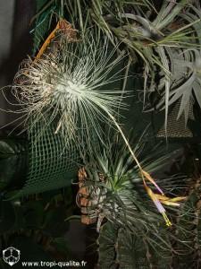 Floraison Tillandsia fuchsii f. gracilis (cliquez pour agrandir)