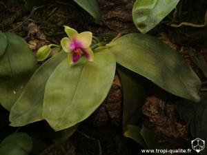 Floraison Phalaenopsis bellina 04/2012 (cliquez pour agrandir)