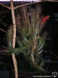 Floraison Tillandsia funckiana spécimen #1 03/2012 (cliquez pour agrandir)