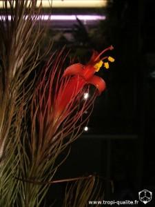 Floraison Tillandsia funckiana spécimen #1 fleur 03/2012 (cliquez pour agrandir)