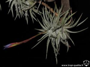 Tillandsia espinosae Peru form (cliquez pour agrandir)