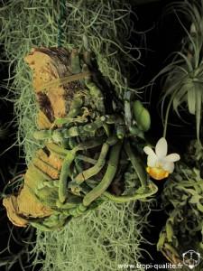 Floraison Phalaenopsis lobbii 04/2013 (cliquez pour agrandir)