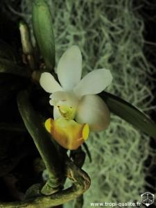 Floraison Phalaenopsis lobbii fleur 04/2013 (cliquez pour agrandir)