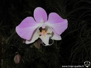Floraison Phalaenopsis sanderiana fleur 04/2013 (cliquez pour agrandir)