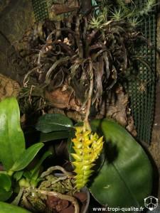 Floraison Racinaea crispa 05/2012 (cliquez pour agrandir)