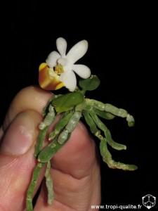 Floraison rejet Phalaenopsis lobbii (cliquez pour agrandir)