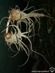 Tillandsia ehlersiana spécimens #1 (en bas) et #2 (en haut) 2013 (cliquez pour agrandir)