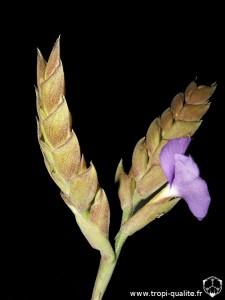 Tillandsia hamaleana inflorescence (cliquez pour agrandir)