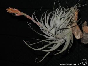 Tillandsia leonamiana spécimen #2 (cliquez pour agrandir)