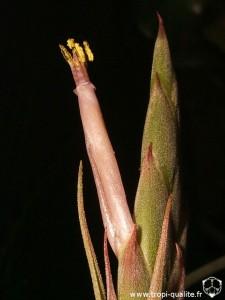 Tillandsia polystachia fleur (cliquez pour agrandir)