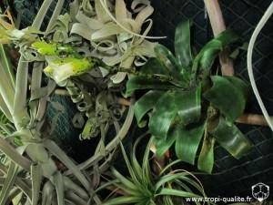 Floraison Vriesea racinae (cliquez pour agrandir)