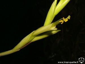 Tillandsia albida spécimen #2 fleur (cliquez pour agrandir)