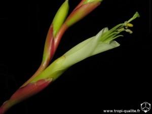 Tillandsia albida spécimen #1 fleur (cliquez pour agrandir)