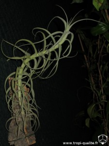 Tillandsia arhiza (cliquez pour agrandir)