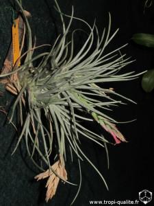 Tillandsia dorotheae (2013), cliquez pour agrandir
