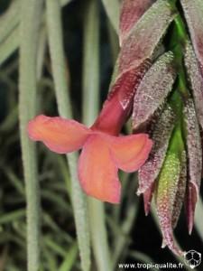Tillandsia dorotheae fleur plus orangée (cliquez pour agrandir)