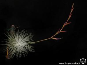 Floraison Tillandsia fuchsii var. fuchsii (cliquez pour agrandir)