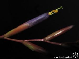 Floraison Tillandsia fuchsii var. fuchsii fleur (cliquez pour agrandir)