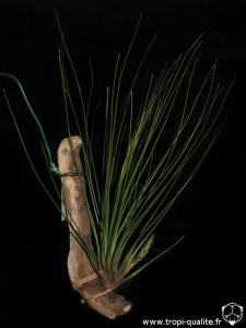 Tillandsia 'Juncifolia' (cliquez pour agrandir)