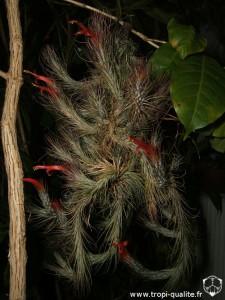 Floraison Tillandsia funckiana spécimen #1 12/2012 (cliquez pour agrandir)