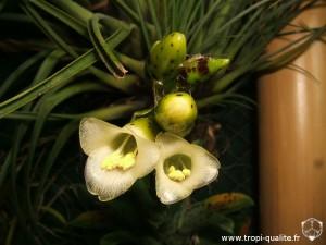 Floraison Vriesea racinae fleur 12/2012 (cliquez pour agrandir)
