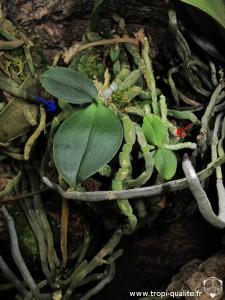 Rejets Phalaenopsis lobbii (cliquez pour agrandir)