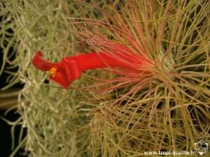 Floraison Tillandsia andreana fleur (cliquez pour agrandir)
