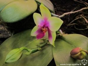 Floraison phalaenopsis bellina fleur 03/2013 (cliquez pour agrandir)