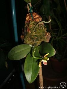 Phalaenopsis fuscata (cliquez pour agrandir)
