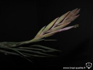 Tillandsia ariza-juliae inflorescence (cliquez pour agrandir)
