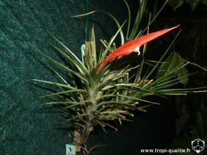 Tillandsia caulescens spécimen #1 (cliquez pour agrandir)