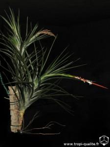 Tillandsia caulescens spécimen #1 en haut, spécimen #2 en bas (cliquez pour agrandir)
