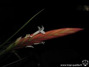 Tillandsia caulescens spécimen #2 inflorescence (cliquez pour agrandir)