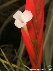 Tillandsia caulescens spécimen #1 fleur (cliquez pour agrandir)
