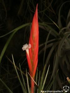 Tillandsia caulescens spécimen #1 inflorescence (cliquez pour agrandir)