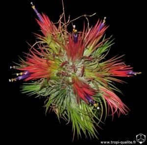 Floraison Tillandsia ionantha 'Fuego' spécimen #2 2014 (cliquez pour agrandir)