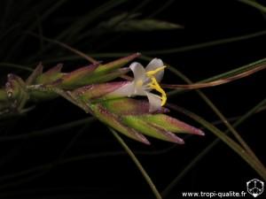Tillandsia remota fleur (cliquez pour agrandir)