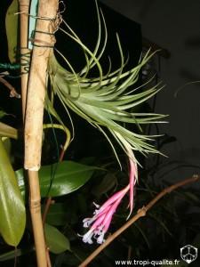 Floraison Tillandsia tenuifolia var. saxicola (cliquez pour agrandir)