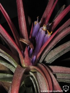 Tillandsia 'Victoria' inflorescence (cliquez pour agrandir)
