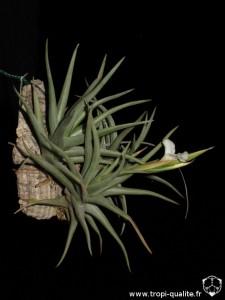 Tillandsia xiphioides 2013 (cliquez pour agrandir)