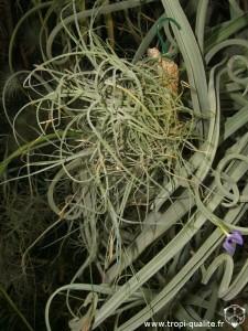 Floraison Tillandsia mallemontii 03/2013 (cliquez pour agrandir)