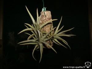 Tillandsia xiphioides 2012 (cliquez pour agrandir)