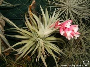 Floraison Tillandsia meridionalis 12/2012 (syn. Tillandsia recurvifolia, cliquez pour agrandir)