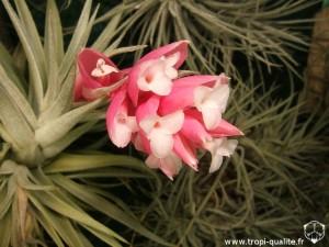 Floraison Tillandsia meridionalis fleur 12/2012 (syn. Tillandsia recurvifolia, cliquez pour agrandir)