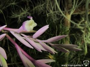 Tillandsia straminea Thick leaf form fleur (cliquez pour agrandir)
