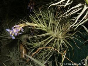 Tillandsia bergeri (cliquez pour agrandir)